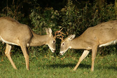 Young bucks in rut. Two young bucks battling lock antlers Stock Image