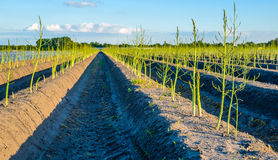 Young budding asparagus plants after the Dutch harvest season. Young freshly green budding asparagus plants in seemingly endless cultivation beds after the Stock Images