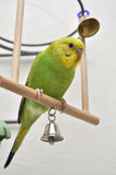 Young budgerigar Stock Images