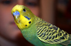 Young budgerigar Royalty Free Stock Photo