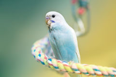 Young budgie. Young blue male budgie on rope perch Stock Photo