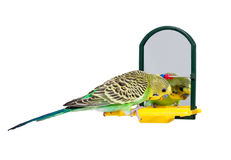 Young budgie and mirror Royalty Free Stock Photos