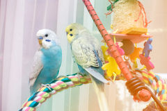 Young budgies. Two young male budgies on rope perch with wooden toy Royalty Free Stock Photo