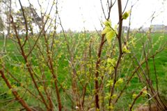 Young buds on branches. In spring royalty free stock images