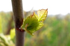 Young buds on branches. In spring stock photo