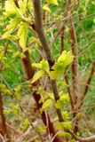 Young buds on branches. In spring stock photography