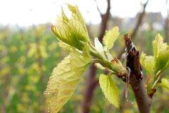 Young buds on branches. In spring stock photos