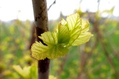 Young buds on branches. In spring stock image