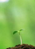 Young buds of green Royalty Free Stock Photos