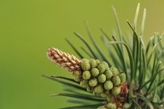 Young buds of a pine ordinary Royalty Free Stock Image