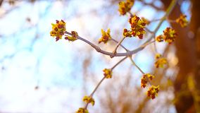 Young buds on a tree branch in the spring. Small young buds on the branch of a tree in early spring stock footage