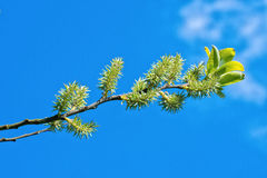 The young buds on the twig of a tree Royalty Free Stock Images