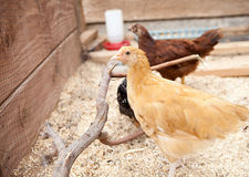 Young Buff Orpington Pullet Stock Image