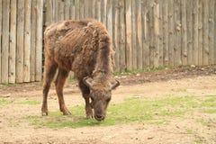 Young buffalo Royalty Free Stock Photo