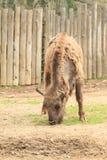 Young buffalo Stock Photo