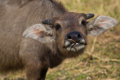 Young buffalo is eating a grass. Young buffalo beautiful body is eating a grass royalty free stock photos