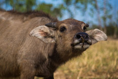 Young buffalo is eating a grass. Young buffalo beautiful body is eating a grass stock photos