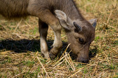 Young buffalo is eating a grass. Young buffalo beautiful body is eating a grass stock images