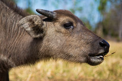 Young buffalo is eating a grass. Young buffalo beautiful body is eating a grass royalty free stock photo