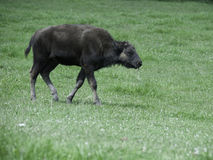 Young buffalo Stock Images