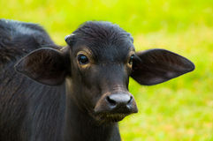 Young Buffalo Royalty Free Stock Images