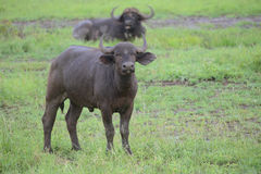 Young buffalo in Kruger Park Royalty Free Stock Photography