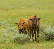Young buffalo's Stock Photos