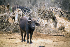 Young buffalo standing near zebra herd royalty free stock photo