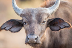 A young Buffalo starring at the camera. Stock Image