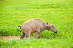 A Young Buffalo Stepping Up From The Mud Puddle Royalty Free Stock Image