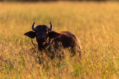 Young Buffalo Sunrise Long Grass Royalty Free Stock Photos