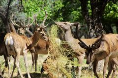 Group of Bukhara deep in Reserve. Young Bukhara deer eat hay in the reserve in natural conditions in sommer day. A scene from the wildlife Royalty Free Stock Image