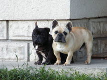 Young buldogs. Young small buldogs are posing Royalty Free Stock Photo