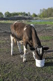 Young bull. The young brown bull-calf drinks water from a bucket Royalty Free Stock Photography
