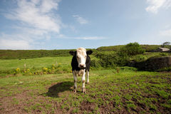 A young bull Stock Photos