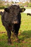 Young Bull. A dirty young black bull standing in a lush green fresh field of grass royalty free stock images