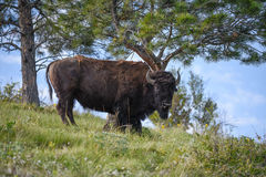 Young Bull Bison Standing Under a Rubbing Tree Stock Photo