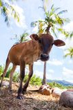Young bull between coconuts Royalty Free Stock Images