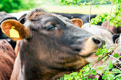Young Bull, Cow eat raspberries leaves, clouseup. United Kinghdom, Devon Royalty Free Stock Photos