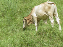 Young Bull eating on the prairie, Ometepe Island. Royalty Free Stock Image
