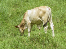 Young Bull eating on the prairie, Ometepe Island. Stock Photography