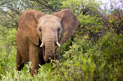 Young bull Elephant Stock Photos