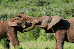 Young bull elephants fighting Stock Image
