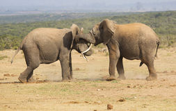 Young bull elephants play fighting. In the African bush Stock Photos
