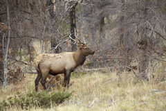 Young Bull Elk Royalty Free Stock Photos