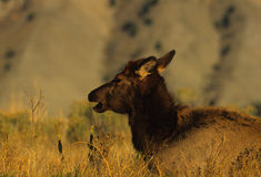 Young Bull Elk Bedded Royalty Free Stock Image