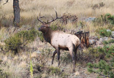 Young Bull Elk Royalty Free Stock Images