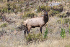 Young Bull Elk Stock Photo