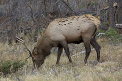 Young Bull Elk Feeding Royalty Free Stock Image