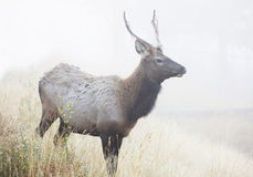 Young Bull Elk in Fog Stock Photography